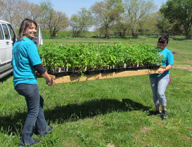 Volunteers Melissa Campbell and Tara Killen, helped move tomato plants